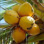 Huile de Coprah (Cocos Nuciferas)