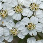Huile essentielle d'Achillée Millefeuille (Achillea millefolium)