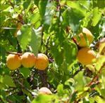 Huile de noyau d abricot abricotier bienfaits propri t s posologie effets secondaires - Planter noyau d abricot ...