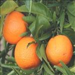 Huile essentielle de Clémentine corse (Citrus clementina)