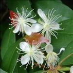 Huile essentielle de Copahu (Copaifera officinalis)