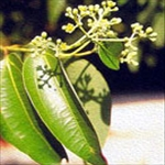 Huile essentielle de cannelle Tamala (Cinnamomum tamala)