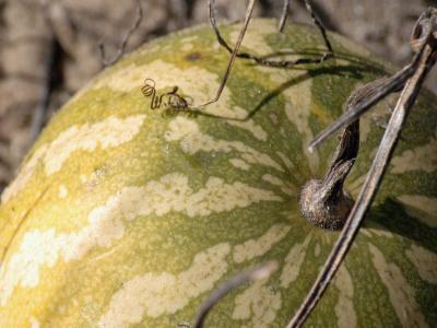 melon kalahari