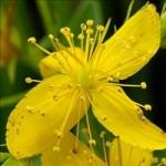 Huile de Millepertuis (Hypericum perforatum)