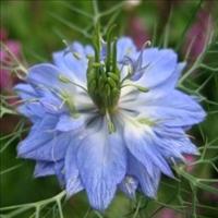 Huile de nigelle nigella sativa bienfaits propri t s for Plante nigelle