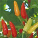 Poivre de Cayenne (Capsicum frutescens) | Bienfaits