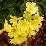 Primevère (Primula elatior)