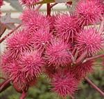 Ricin plante