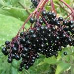 Sureau noir (Sambucus nigra)