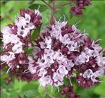 marjolaine des jardins origanum majorana bienfaits propri t s posologie effets secondaires. Black Bedroom Furniture Sets. Home Design Ideas