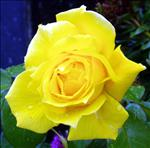 rose 1
