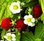 fraisier sauvage
