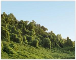 Kudzu de l'agriculture biologique