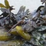 Propriétés curatives des algues marines
