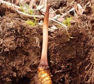Cordyceps Élixir de Vie