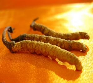 cordyceps-champignon-chenille