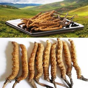 Cordyceps tibétains