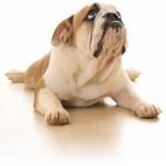 Douleurs articulaires du chien: les soigner avec les plantes!