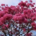 Lapacho ou arbre à l'écorce divine