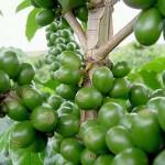 Café Vert, actif contre le surpoids et l'hyperglycémie