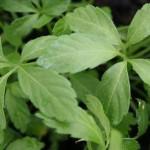 Jiaogulan (Gynostemma pentaphyllum) « Herbe d'immortalité »