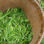 Thé vert un laxatif naturel à portée de main