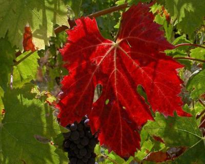 Vigne rouge Histoire, Origine, Description