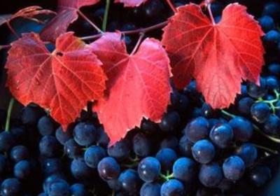 Vigne rouge propriétés