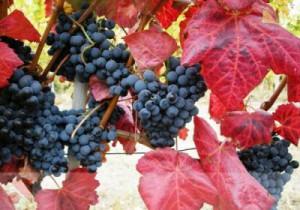 Vigne rouge remèdes naturels cellulite