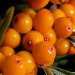 Argousier, bienfaits du fruit de l'espace