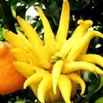 Main de bouddha, agrume similaire à des doigts