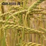 Epeautre et petit épeautre : l'ancêtre du blé