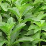 Stevia bienfaits
