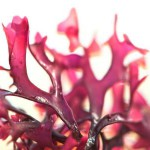 Dulse : algue rouge de la santé