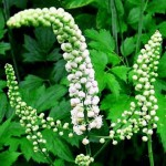 Black cohosh bienfaits