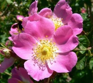 Rose musquée bienfaits