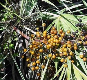 Sabal Palmetto bienfaits