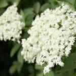 Fleurs de sureau coupe-faim