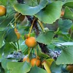 Ginkgo Biloba fruits