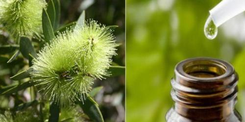 Remèdes naturels avec H.E. de Tea Tree