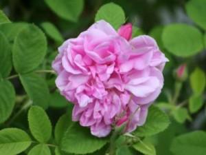 Rose de Damas en aromathérapie