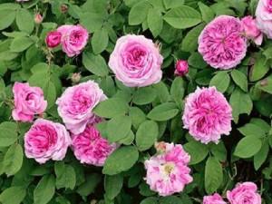 Rose de Damas vertus et propriétés