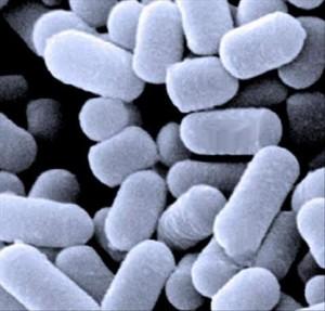 Ferments lactiques probiotiques