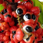 Guarana bienfaits