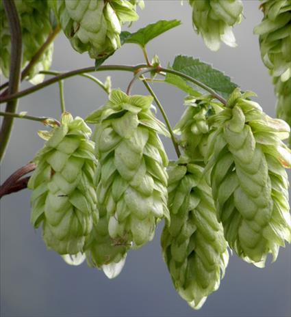 Fleur de houblon