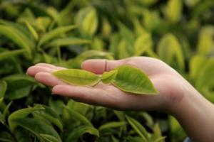 huile essentielle de Tea Tree acné, eczéma, pioriasis