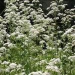 Remplacer la mélatonine par des plantes médicinales bio