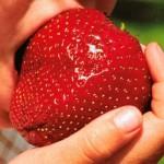 Fraises si peu de calories pour d'énormes bienfaits santé !
