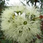 Eucalyptus dosage