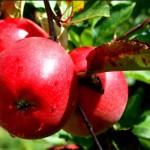 Pomme Rouge Mine de Micronutriments